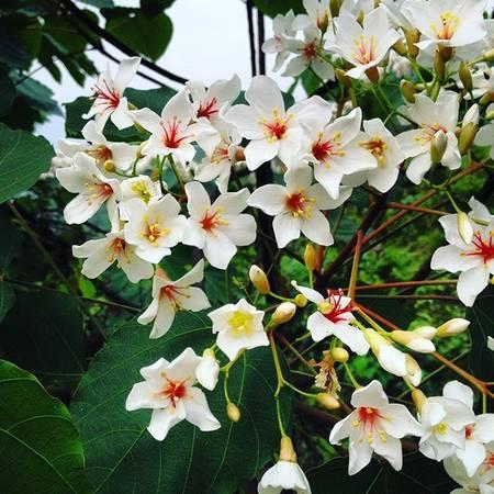 Còn nếu bạn du lịch Bình Liêu vào những ngày cuối tháng 3, đầu tháng 4, bạn sẽ được chiêm ngưỡng mùa hoa trẩu tuyệt đẹp. Ảnh:phananhtuann