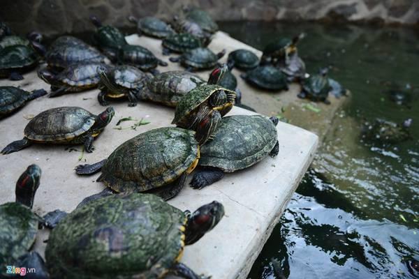 Bên ngoài khoảng sân chùa còn nuôi rùa, cá... đa phần được người dân đem đến phóng sinh cầu phước.