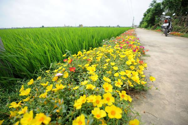 Những ngày đầu hè, có dịp tới thăm xóm 5 (xã Hải Quang, Hải Hậu, Nam Định), bạn sẽ thấy thích thú với con đường bê tông trồng hoa hai bên.