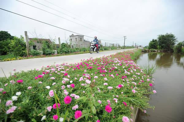 Cách đây 2 năm, nhân dịp xã đạt chuẩn Nông thôn mới, người dân đã tiến hành trồng hoa suốt dọc nhiều chặng đường kéo dài tới 3 km.