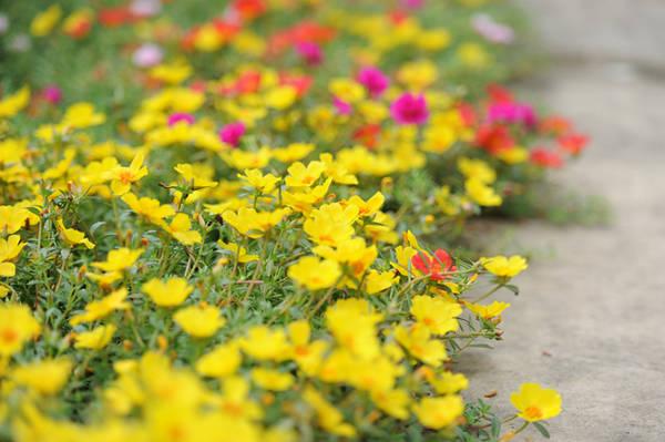 Người dân chọn trồng chủ yếu là mười giờ ta cánh kép (màu hồng đỏ và hồng), hoa cánh đơn vàng, cam.