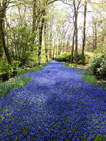 Vườn hoa Keukenhof (Hà Lan) sặc sỡ khi mùa xuân đến.