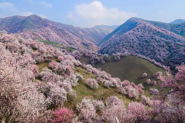 Nằm về phía Tây Bắc Trung Quốc, miền đất Tân Cương ẩn chứa nhiều câu chuyện bí ẩn, huyền bí về lịch sử cũng như văn hóa, chính trị. Nhưng không chỉ vậy, Tân Cương còn là một miền đất tươi đẹp với những thảm cỏ trên thảo nguyên trải rộng, cứ đến mùa hoa mai lại khoác lên mình vẻ đẹp thần tiên, lãng mạn.