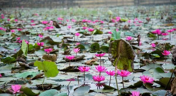 Hồ sen xinh đẹp trong khuôn viênMai Châu Lodge.
