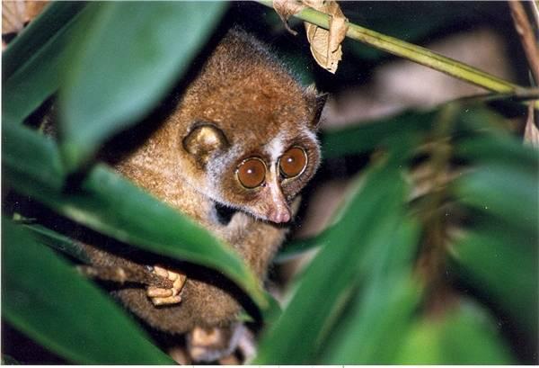 Con Cù Lần hay còn gọi là con Cu Li hiền lành dễ thương với đôi mắt to tròn đẹp nhất thế gian. (Ảnh: Internet)