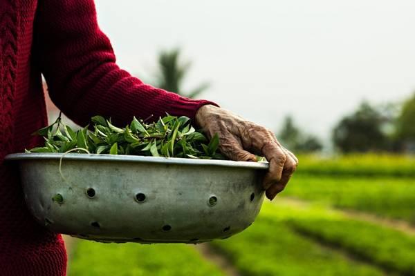 Điều đặc biệt tạo nên chất lượng cho rau trồng nơi đây là việc người dân không hề sử dụng các hóa chất độc hại, kích thích tăng trưởng. Chính điều đó giúp đảm bảo chất lượng tốt nhất cho rau trồng. Với một chuyến tham quan ngắn tới làng Trà Quế, du khách có thể tận mắt nhìn thấy cách những người nông dân trồng rau theo cách này.