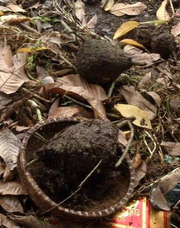 Tổ kiến được chặt hạ mang về để tách trứng và kiến - Ảnh: Hoàng Hân