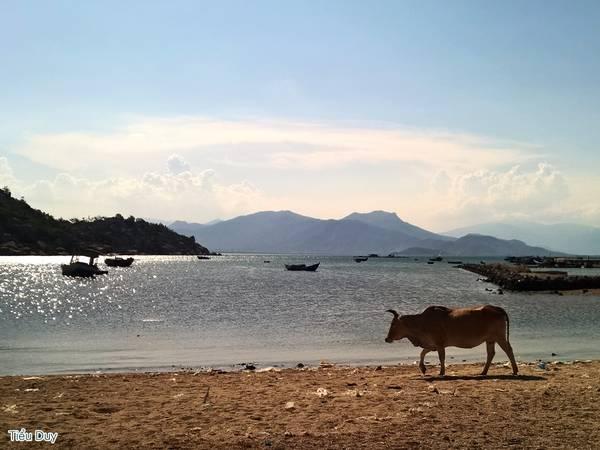 Nằm võng hóng gió từ quán, bạn có thể bắt gặp những chú bò dê thong dong đi dọc bãi biển. Ảnh: Tiểu Duy