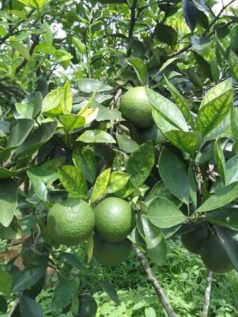 Ảnh: FBVườn Trái Cây Nam Nhi