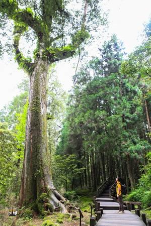 Rừng cây cổ thụ hàng nghìn năm tuổi ở Alishan.