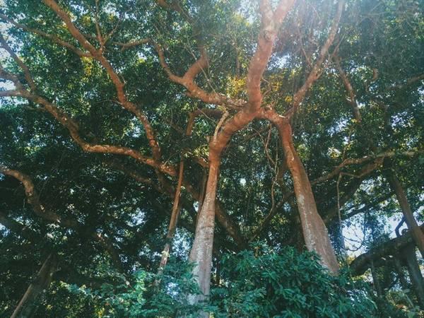 Vì có kinh nghiệm trong lần đi trước, chia sẻ của chuyến đi này cũng bổ sung nhiều chi tiết và đầy đủ về các địa điểm ăn uống, ngủ nghỉ, tham quan. Trong hình là cây đa trăm tuổi nằm ở bán đảo Sơn Trà.