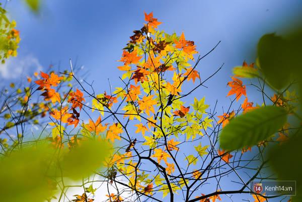 Đây chính là cây phong đang chuyển màu lá trong khu rừng nằm ven hồ Tuyền Lâm thành phố Đà Lạt.