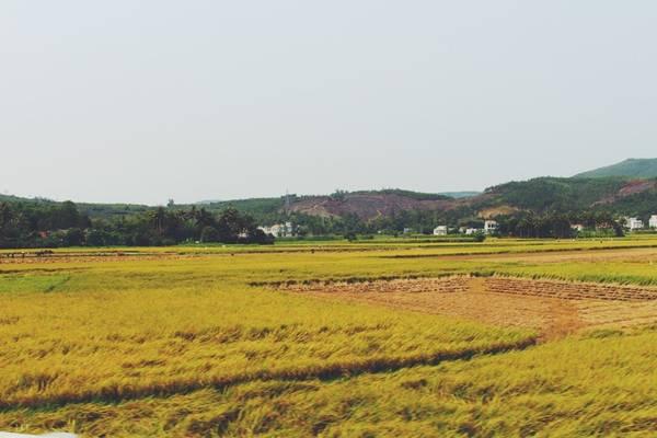"""Khi đến Phú Yên, không khó để các bạn có thể bắt gặp những đồng lúa bát ngát ở hai bên đường. Trong đó có cánh đồng lúa ở huyện Tuy An. Đây là cánh đồng lúa làm bối cảnh quay bộ phim """"Tôi thấy hoa vàng trên cỏ xanh""""."""