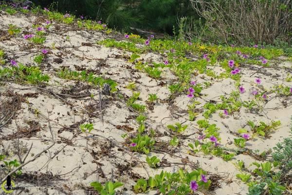 Những bãi biển đẹp nhất Phú Yên bao giờ cũng rất hoang sơ và phải luồn lách qua nhiều thôn chài ven biển, Hòn Yến cũng vậy. Bạn sẽ lạc vào một thế giới khác với những cồn cát trải dài ngút mắt, đi xuyên qua tán bàng rợp bóng, hàng phi lao và xương rồng dọc lối.