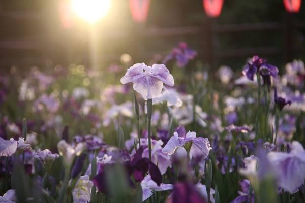 Lễ hội hoa diên vĩ kỳ ảo ở Nhật Bản