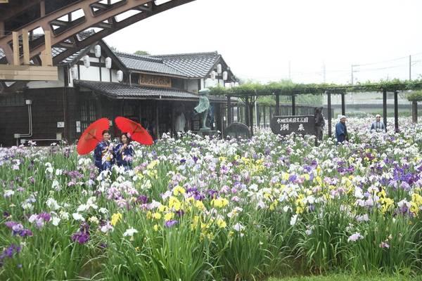 Những bông hoa diên vĩ rực rỡ sắc màu đồng loạt khoe sắc.
