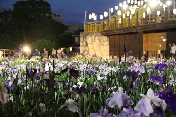 Hoa diên vĩ buổi đêm cũng rất đẹp.
