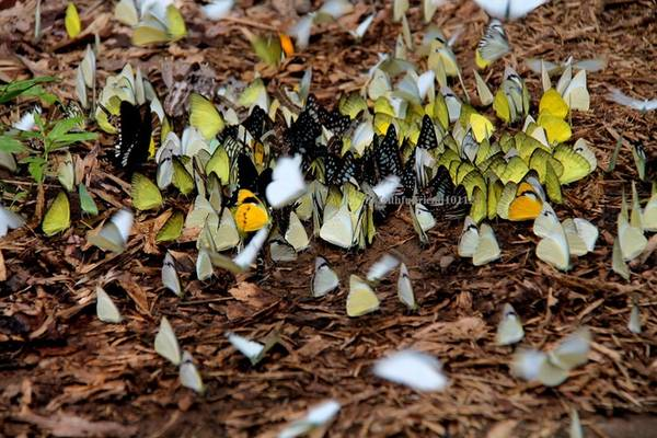 Khi ve bắt đầu râm ran, trên những con đường mòn trong rừng có nhiều đàn bướm tụ tập thành từng cụm nơi vũng nước, chỗ ẩm ướt,… tạo nên một sắc thái mới cho rừng già Cát Tiên.
