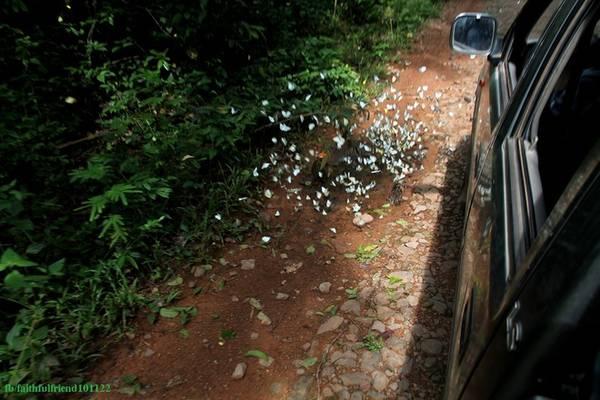 Bướm tập trung nhiều trên con đường mòn trong rừng, du khách nên tản bộ, đạp xe để ngắm và chụp hình. Nếu đi bằng xe jeep có thể yêu cầu bác tài dừng lại để tham quan.