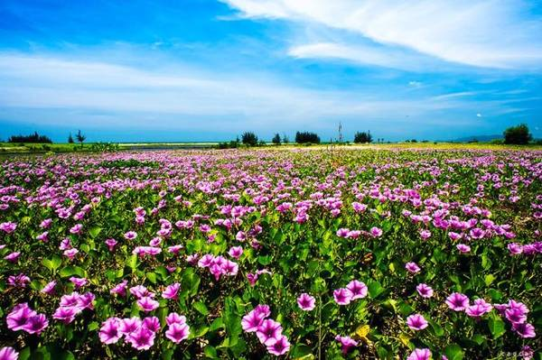 Kết quả hình ảnh cho hoa muống biển lý sơn