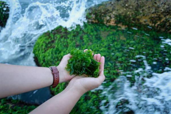 Một loại rêu thường được người dân lấy làm mồi câu cá - Ảnh: Tiến Thành