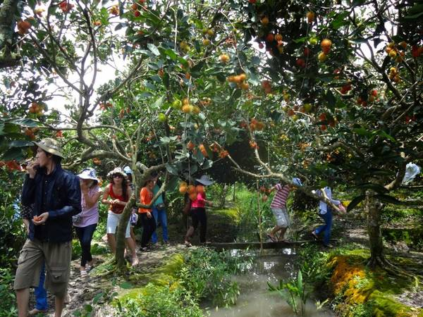Du khách vừa tham quan vừa thưởng thức cây trái ngay tại vườn. Ảnh: ST