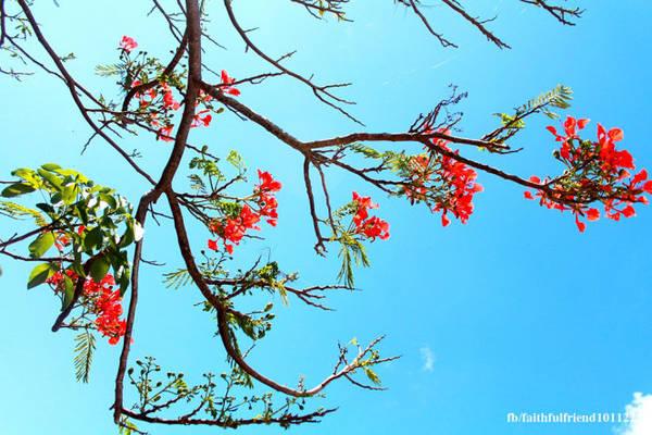 Hè đến, những nhành hoa phượng ra hoa khoe sắc đỏ rực dọc lối đi, điểm xuyết cho ngôi chùa thêm phần xinh tươi và đẹp, khiến bước chân người lữ hành khó lòng chối từ phong cảnh mang chút thi họa