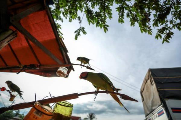 Mùa mưa đến cũng là mùa người Êđê săn bắt và bày bán chim kơtia (vẹt) dọc quốc lộ 14 đoạn qua xã Cuôr Đăng, huyện Cư M'gar (Đắk Lắk) - Ảnh: TIẾN THÀNH