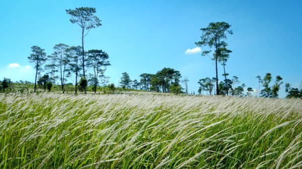Mùa mưa đến, cây cối thêm xanh tươi. Trong ảnh: Một bãi cỏ lau ven quốc lộ 14 (nay là đường Hồ Chí Minh) đoạn qua địa phận huyện Krông Búk, Đắk Lắk - Ảnh: TIẾN THÀNH
