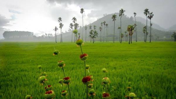 Cơn mưa đổ xuống cánh đồng lúa ở huyện Krông Bông, Đắk Lắk - Ảnh: TIẾN THÀNH