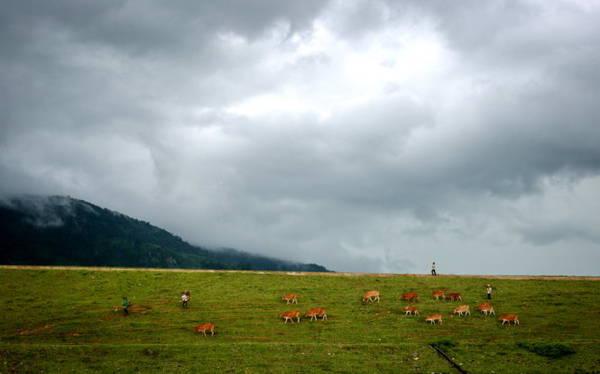 Lùa bò về trên bờ đập của huyện Krông Bông (Đắk Lắk) trong chiều mưa - Ảnh: TIẾN THÀNH