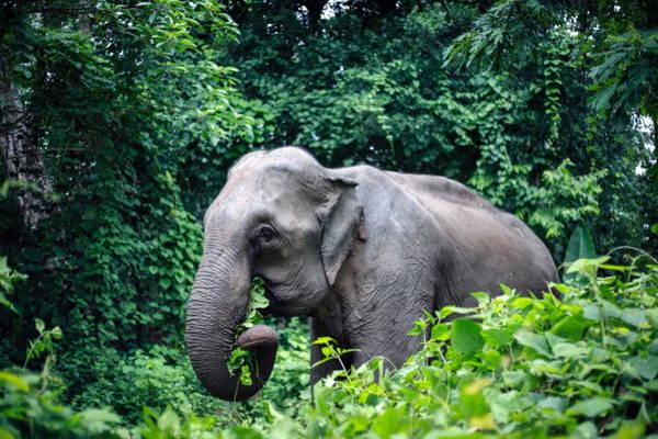 Một con voi nhà ăn cây cỏ tại xã Dray Sáp, huyện Krông Ana (Đắk Lắk) - Ảnh: TIẾN THÀNH