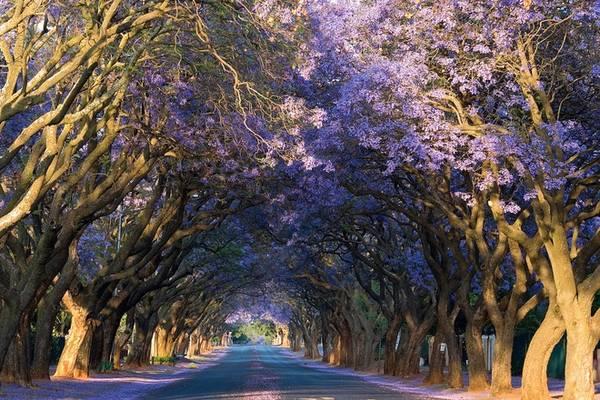 """Vốn là thủ đô hành chính của Nam Phi, Pretoria còn mang cái tên ''thành phố hoa phượng tím"""" với hàng chục ngàn cây được trồng khắp các góc phố, nẻo đường, công viên hay những khu vườn. Ảnh: Flickr."""