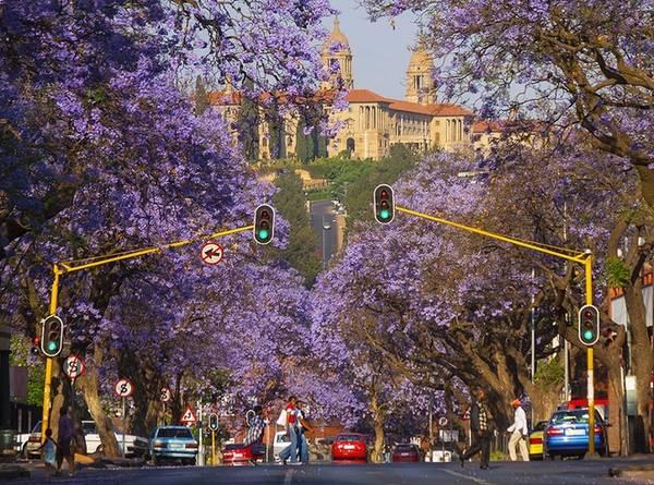 Nằm ở vùng khí hậu cận nhiệt đới ẩm, Pretoria có mùa xuân bắt đầu vào tháng 9 kéo dài tới tháng 11. Từ giữa cho đến cuối mùa xuân là thời điểm hoa phượng tím bắt đầu nở rộ. Ảnh: Hein Waschefort.