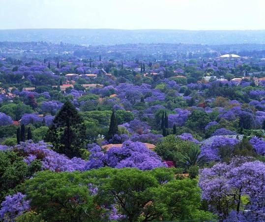 Những cây phượng tím của thủ đô Pretoria được du nhập vào Nam Phi từ thế kỉ 19. Mặc dù có nguồn gốc từ Nam Mỹ, loài thực vật này vẫn phát triển mạnh trong khí hậu nóng ẩm của Nam Phi và có khả năng chịu hạn khá tốt. Ảnh: Flickr.