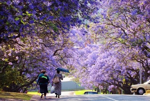 Theo Hubpages, hai cây phượng tím đầu tiên được trồng tại một trường học nằm ở vùng Arcadia của Pretoria vào khoảng năm 1888. Kể từ đó, số lượng loài cây này bắt đầu nhân lên rộng rãi và người dân thành phố cũng trồng chúng khắp nơi. Ảnh: Go Trip.