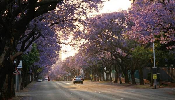 Tuy nhiên, vốn là giống ngoại lai, phượng tím chỉ được trồng dưới sự giám sát chặt chẽ của chính quyền Nam Phi do loài cây này có nguy cơ gây mất cân bằng sinh thái địa phương. Ảnh: DM Canon.