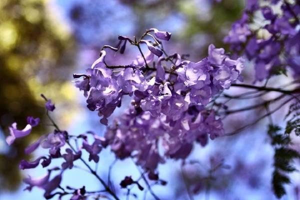 Theo quy định, chính quyền Pretoria được phép giữ lại tất cả số lượng cây phượng tím trong thành phố song những cây đã bị chết sẽ được thay thế bằng một cây mới khác loài. Ảnh: DM Canon.