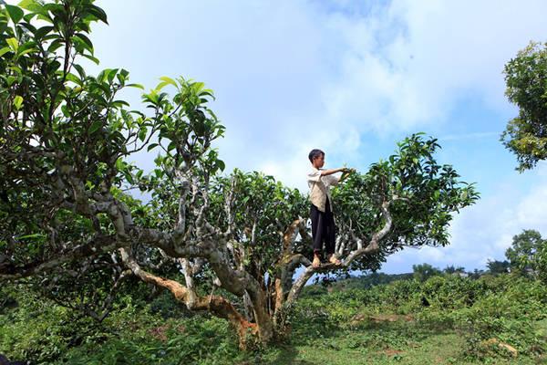 Chè cổ thụ ở Suối Giàng có những cây đã hơn 300 tuổi. Ảnh: Lê Bích