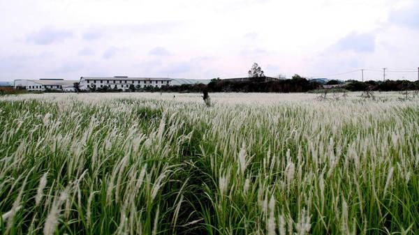 Đồng cỏ lau Đức Hòa, Long An chỉ cách Sài Gòn 20km - Ảnh: XUÂN LỘC