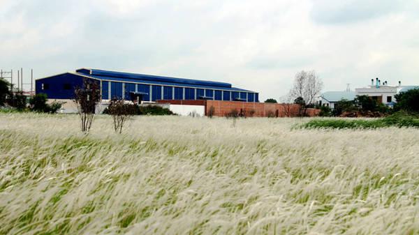 Xung quanh đồng cỏ lau có đến 3-4 nhà máy, xí nghiệp - Ảnh: XUÂN LỘC