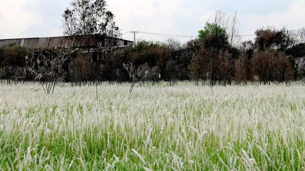 Những cơn gió cứ hò reo, làm từng đám cỏ lau trắng xóa phấp phới nhấp nhô - Ảnh: XUÂN LỘC.