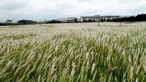 Cánh đồng cỏ lau trải dài tít tắp - Ảnh: XUÂN LỘC