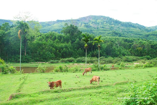 Những chú bò thong dong gặm cỏ.