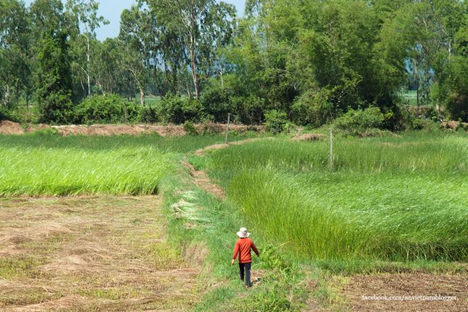 Một cánh đồng cói đang mùa gặt.