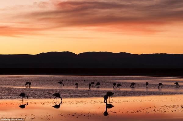 Sa mạc Atacama của Chile rộng lớn và có địa hình đa dạng. Tới khu bảo tồn quốc gia Los Flamenco, bạn sẽ thấy hồ nước đầy hồng hạc. Làn nước biến thành tấm gương phản chiếu bầu trời hoàng hôn, tạo ra ánh bạc độc đáo.