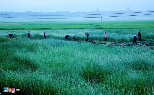 Người dân thu hoạch cói trên cánh đồng xanh mướt bên quốc lộ 1 ở xã Hoài Châu Bắc, huyện Hoài Nhơn.