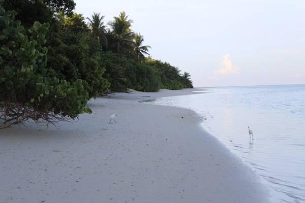 Plumeria - lạc bước giữa vườn san hô: Tới Plumeria, bạn sẽ có dịp đi dạo cùng cò trên những bãi cát trắng mịn, không một vết chân.