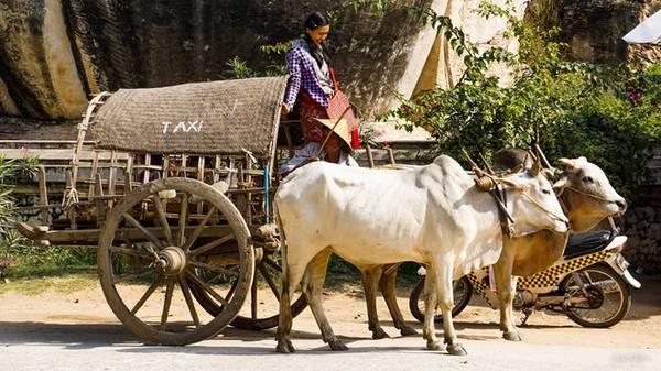 Taxi bò (cow taxi) ở Mingun chở tối đa 5 khách đi tham quan, có giá 5 USD một chuyến - một trong những điều bạn nên thử khi đến đây.