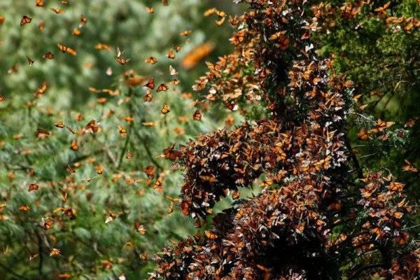 Mỗi năm, hàng trăm triệu con bươm bướm từ Canada và Mỹ bay về phía rừng Michoacan, Mexico. Đây được xem là một cuộc di cư côn trùng bí ẩn và lớn nhất trên thế giới. Các loài bướm tụ tập vô số trên cây và mặt đất, bao phủ thành thảm màu da cam và màu đen trên một diện tích lớn.